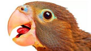 Как попугаям удается разговаривать