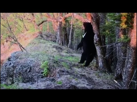 An Asian Black Bear has been filmed having a good back scratch at the Land of the Leopard national park in Russia's Far East. Soon after the bear finds and chomps down on the camera. (June 18)