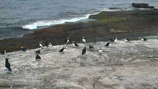 Puffin Loafing Ledge Cam 06-23-2018 12:29:10 - 13:29:11
