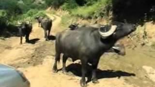 mandalar( water buffalos )- gökbel-yenice-karabük-türkiye