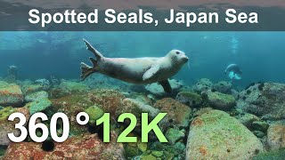 Diving with Spotted Seals. Sea of Japan, Russia. Underwater 360 video in 12K