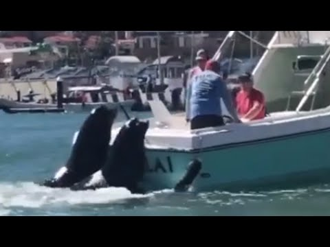 Giant sea lions board fishing boat to ask for snacks