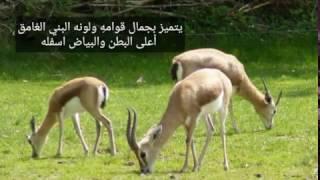 غزال الجبل الفلسطيني...