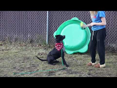 Panther, an adoptable American Staffordshire Terrier Mix in Danbury, CT