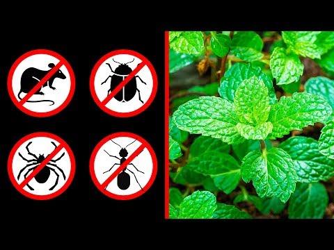 Wenn du diese Pflanze zu Hause hast, siehst du Mäuse, Spinnen und Ameisen nie wieder
