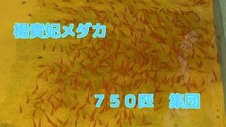 楊貴妃めだか750匹 もうすぐ産卵時期に入ります木製メダカ水槽Japanese killifish