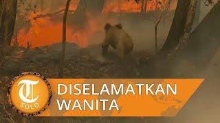 Viral Koala Diselamatkan Wanita dari Kebakaran Hutan, Rumah Sakit Terpaksa Istirahatkan Selamanya