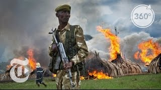 Kenya Burns Millions of Dollars in Ivory - Reportage, The New York Times