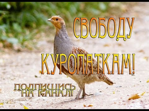 Куропатка в домашних условиях Куропаток выпустили на свободу Нашли птенца  Приготовление Разведение