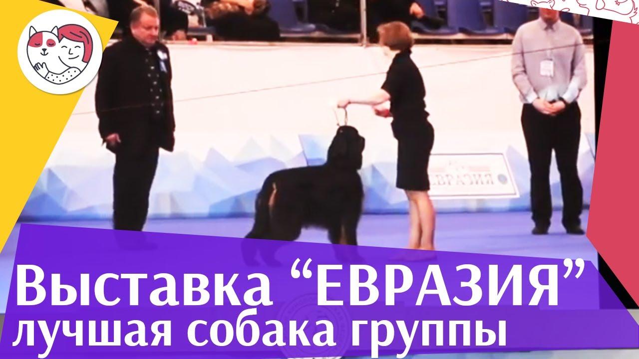 Лучшая собака 7 группы по классификации FCI 18 марта на Евразии 17 ilikepet