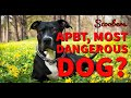 Pitbull Most Dangerous Dog In World | APBT | American Bully |Pitbull| Facts About Pitbull | Scoobers