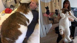 САМЫЕ БОЛЬШИЕ КОШКИ В МИРЕ! Настоящие коты гиганты...
