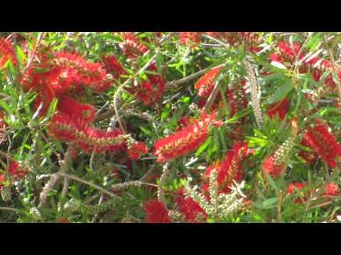 Песнь Нектарницы на цветах Каллистемона!!!Кирьят-Ям.Israel.