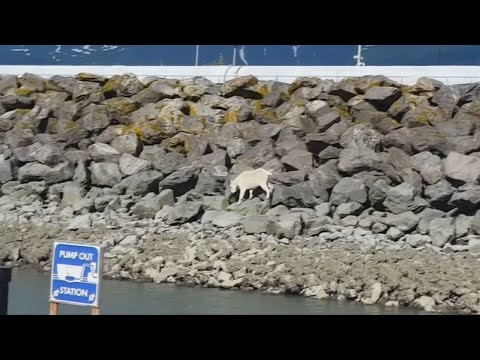 Wild mountain goat dies after being crowded by onlookers in Alaska