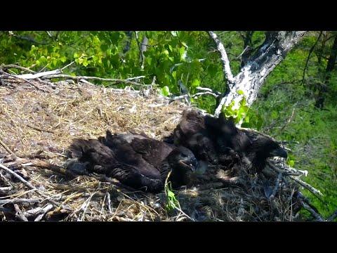 Nongame Wildlife EagleCam