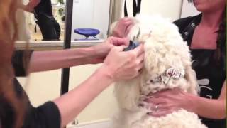 Salem Paw Spa with Mollie, Goldendoodle