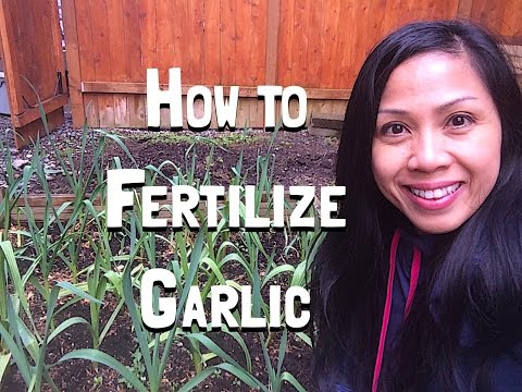 , title : 'Growing Garlic -How to Fertilize Garlic in the Spring
