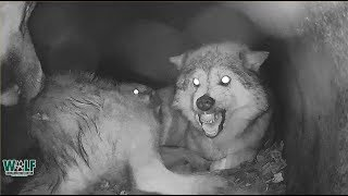 When Wolf Mamas Me Time Gets Interrupted By Needy Pups
