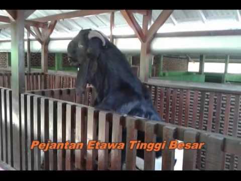 Video Ternak Kambing Etawa Model Kandang  Untung Berjuta Juta Rupaih