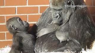 Baby Gorilla Shufai Interrupts Mothers Sleep In The Winter Sunshine