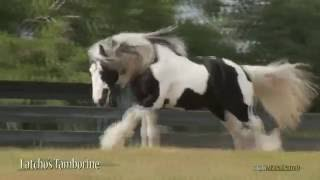 Texas Thunder gypsy vanner horses for sale