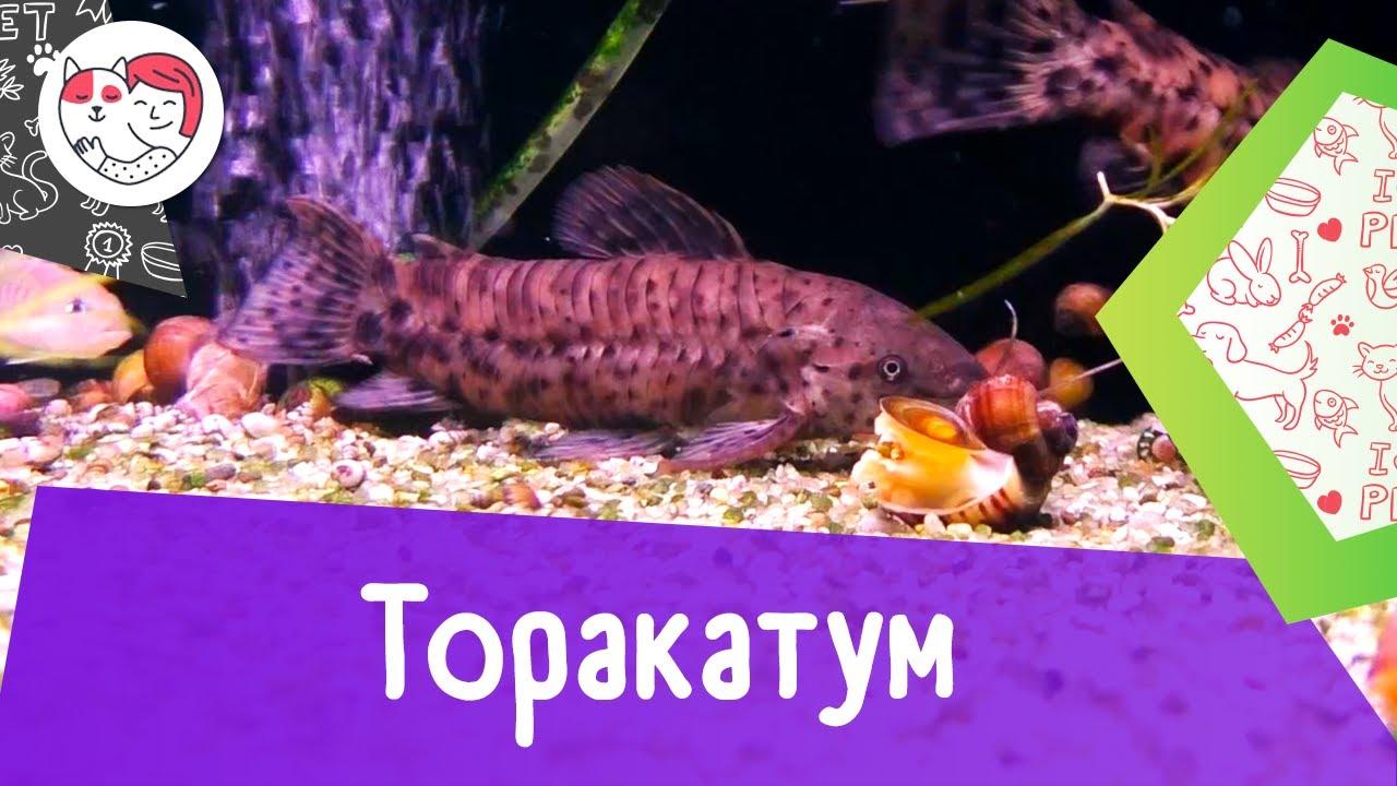 Аквариумная рыбка торакатум. Особенности. Уход.