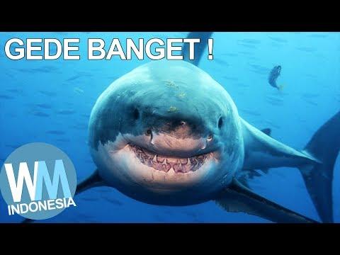 Unduh 4300 Gambar Jenis Ikan Hiu HD Terbaik