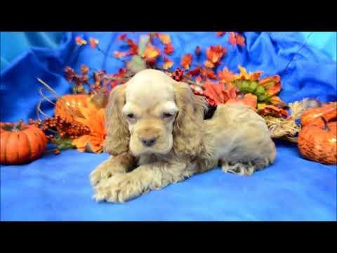 Benson AKC Buff Male Cocker Spaniel Puppy for sale.
