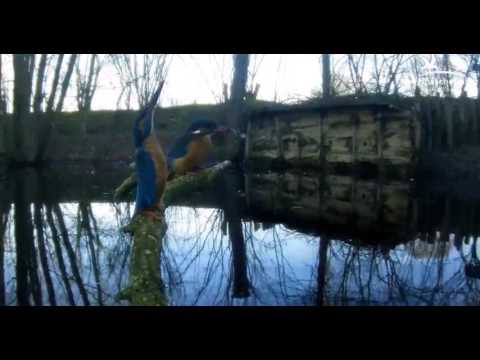 Kingfishers: Male Feeds Female - 13.03.17
