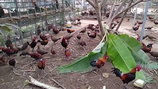 Bán gà rừng giống, gà rừng cảnh, gà rừng mồi, gà rừng thương phẩm tại Thanh Hóa - 0977057088