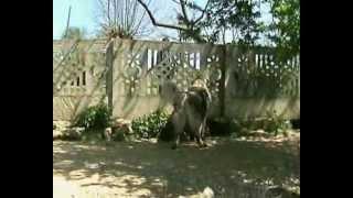 Sarplaninci od Kojica iz Loznice