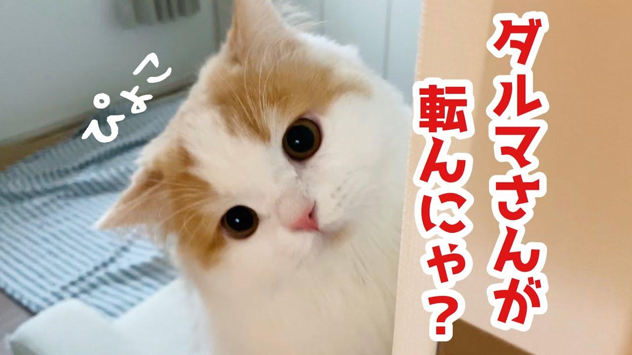 もふ猫とダルマさんが転んだをしてみると、、!【スコティッシュフォールド長毛】 #猫 #cat #スコティッシュフォールド #ダルマ #長毛