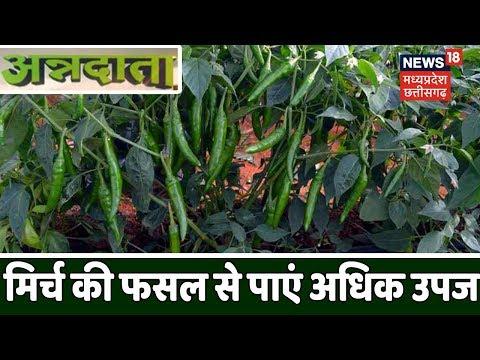 मिर्च की फसल (Chilli Farming) से कैसे पाएं, अधिक उपज | अन्नदाता |Annadata| 23 October 2019