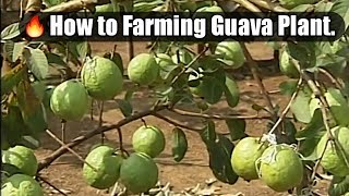 How To Farming Guava Plant In Commercially.(Pruning/Cutting Process In Guava Plant)