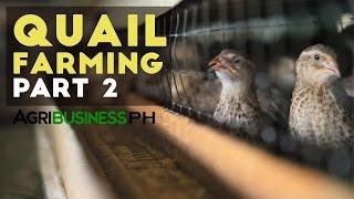 Quail Farming And Grow Out Management | Quail Farming Part 2 #Agribusiness