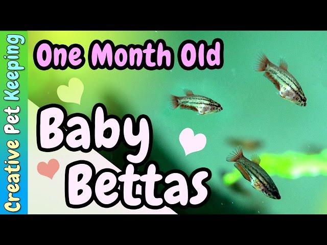 1 Month Old Bettas ❤ Baby Fish
