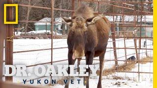 An Injured Moose Gets an Exam | Dr. Oakley, Yukon Vet