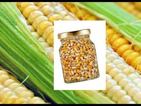 اساليب و كيفية زراعة الذرة الصفراء