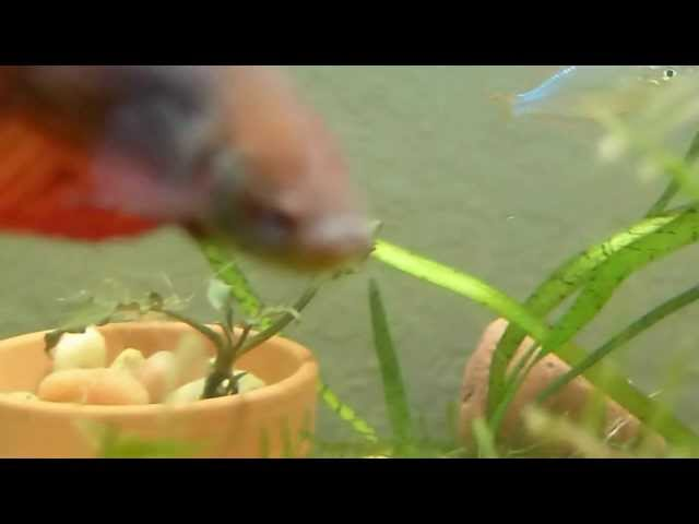 How to have aPlanted Betta Tank Setup with Betta Fish and live aquatic plants