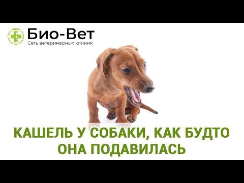 Кашель у собаки, как будто она подавилась / Ветеринарная клиника Био-Вет