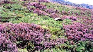 Neelakurinji - the wonder bloom of Kerala