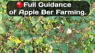 How To Apple Ber Farming With Full Guide Line Step By Step.( Full Guidance Of Apple Ber Farming).