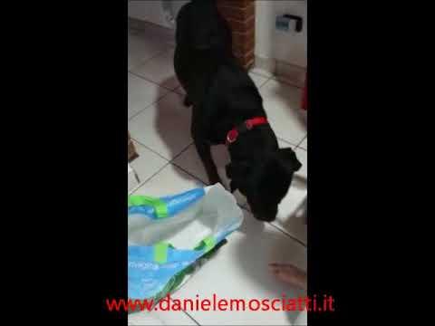 Ares 3 anni Rottweiler, che aiuta a sistemare la spesa...