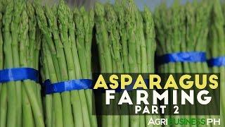 How To Grow And Harvest Asparagus | Asparagus Farming Part 2