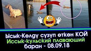Ысык-Көлдү СҮЗҮП өткөн КОЙ | Иссык-кульский плаваюший БАРАН | Элдик Роликтер | Акыркы Кабарлар