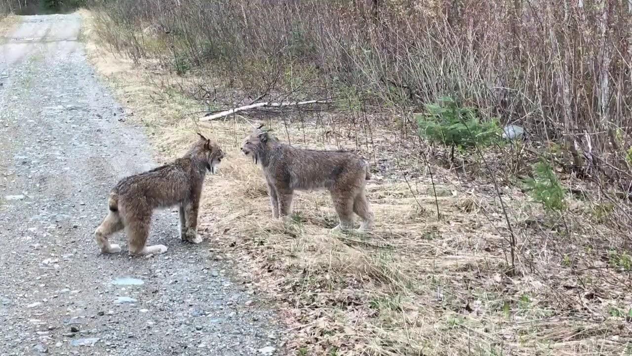 Большие кошки орут друг на друга на дороге в Канаде