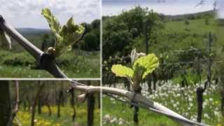 preview picture of video 'Schloss Vollrads: 800 years of wine culture'