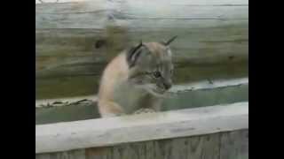 Lynx baby breaksout.