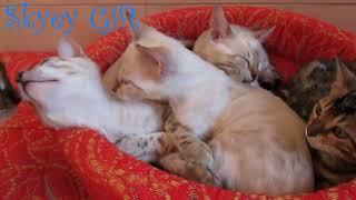 бенгальская кошка, бенгальский котенок, продажа бенгалы с документами