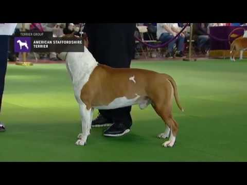 Westminster Kennel Club Dog Show - American Staffordshire Terriers Breed Judging 2019